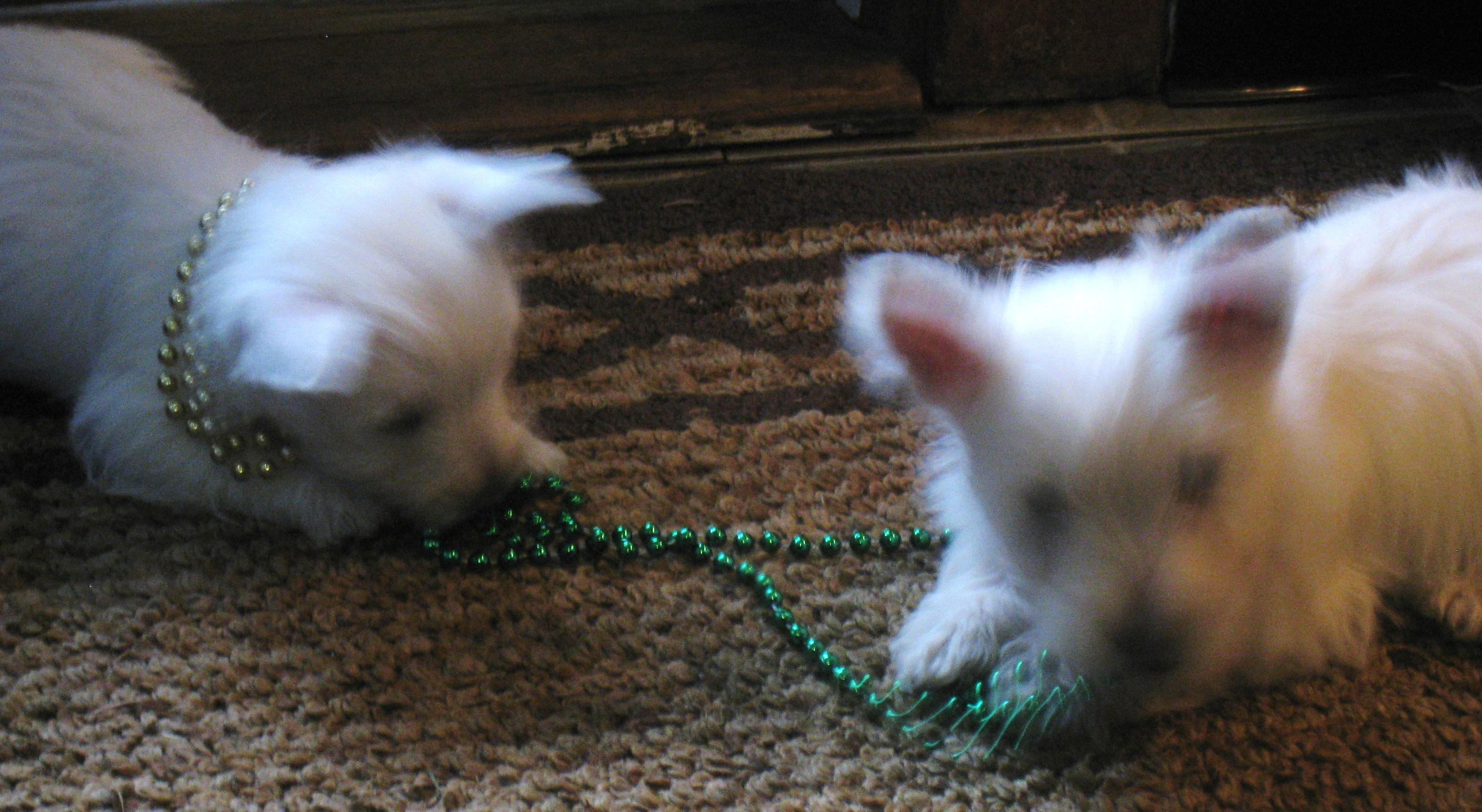 Westie puppies!