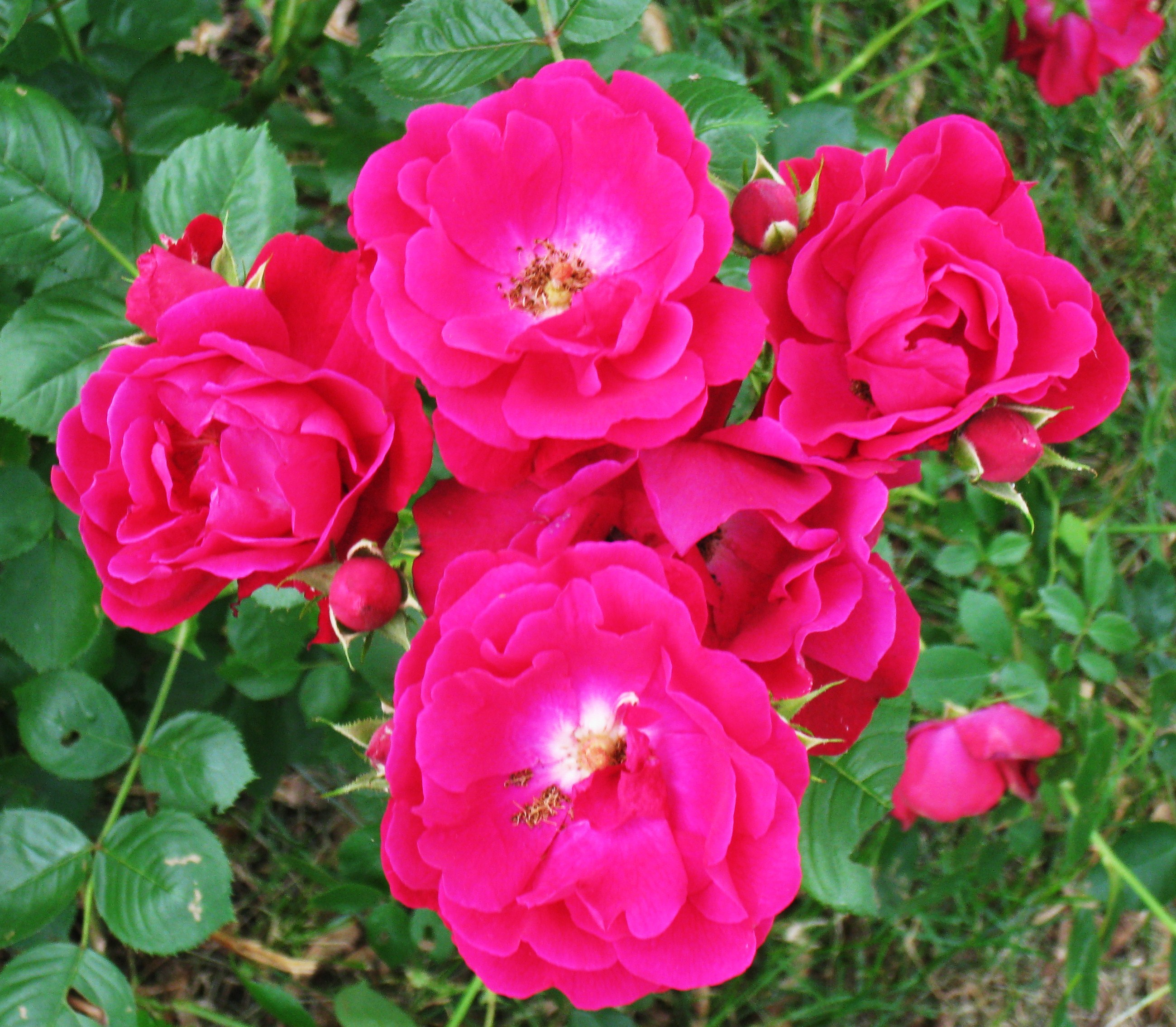 The Rose Bush That Wouldn't Die | Everyday Adventures in ...