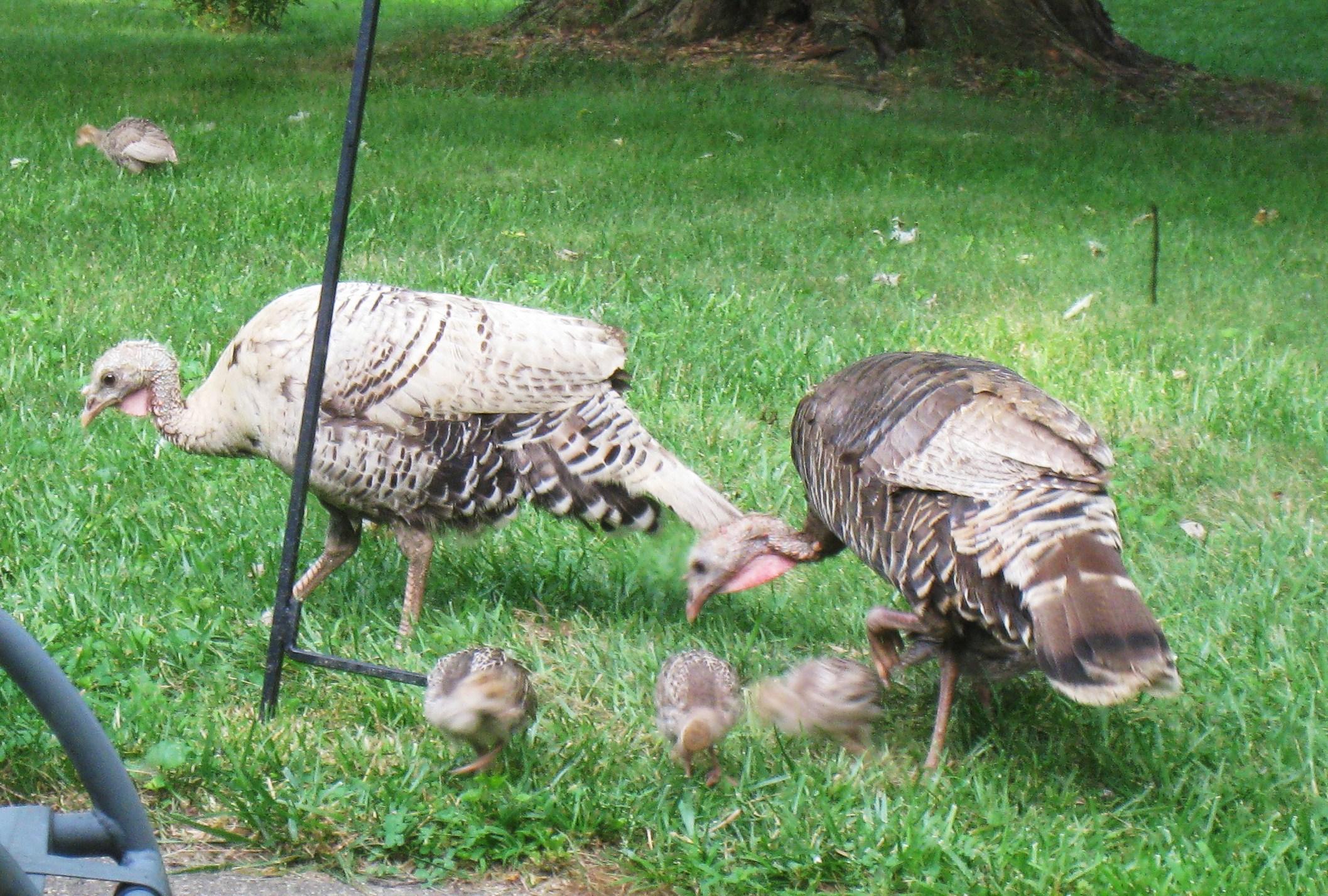 Talkin\' Turkey – Oh, The Drama!! | Everyday Adventures in Havachon ...