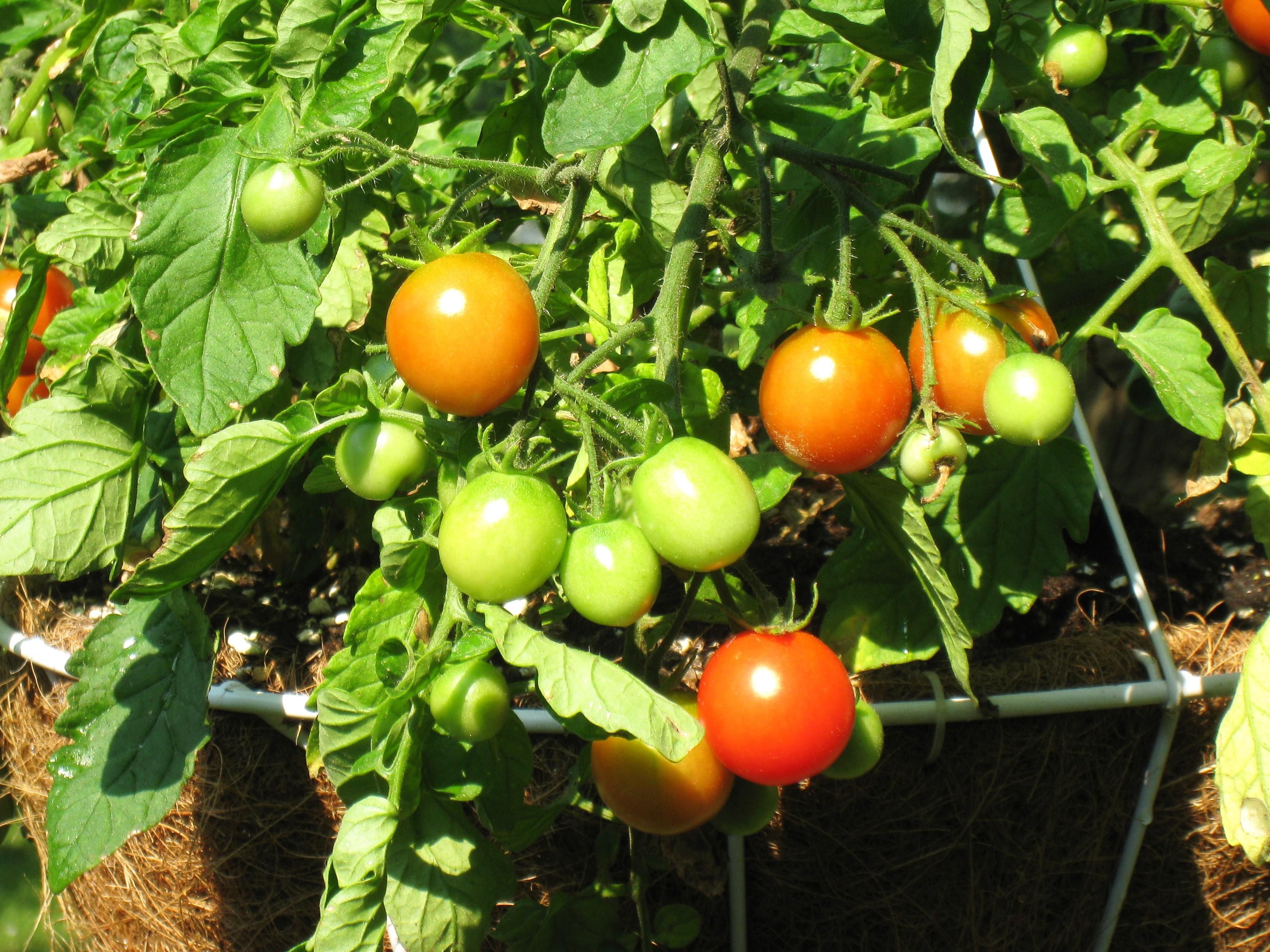 early backyard harvest everyday adventures in havachon heaven