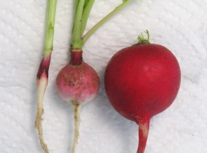"Our pathetic radishes went from anorexic to tiny - the one on the far right was bought in the store. It's a ""small"" but normal radish. Pffft."