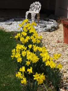 Happy spring daffodils in our front yard.