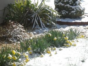 Unhappy frozen daffodils.