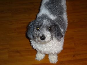 """With my hair overgrown and my ears trimmed but still greasy, I look out of balance - my head looks too small for my fluffy, overgrown body!   I look like one of those """"square sheep"""" in Americana paintings!"""