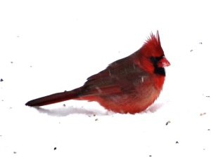 One of my favorite winter scenes is the vivid color contrast of cardinals against the snow.