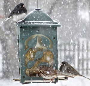 You can always tell how cold winter is by how chubby the birds are!