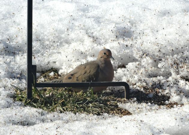 A little mid-week melting had this guy claiming the one green spot under the feeder.