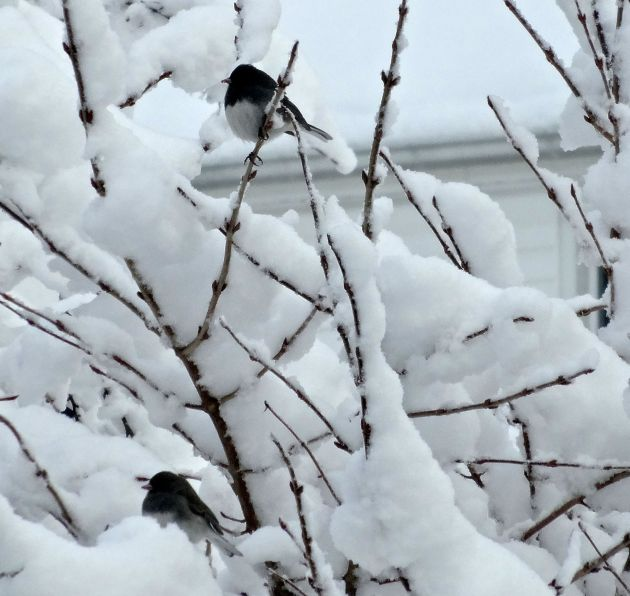 I love how these little beauties nestle into the snowy branches.
