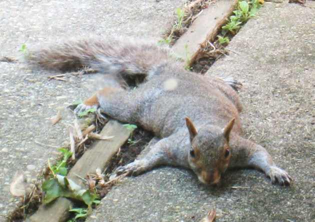 It's so hot, this squirrel flattened himself out under our patio table!