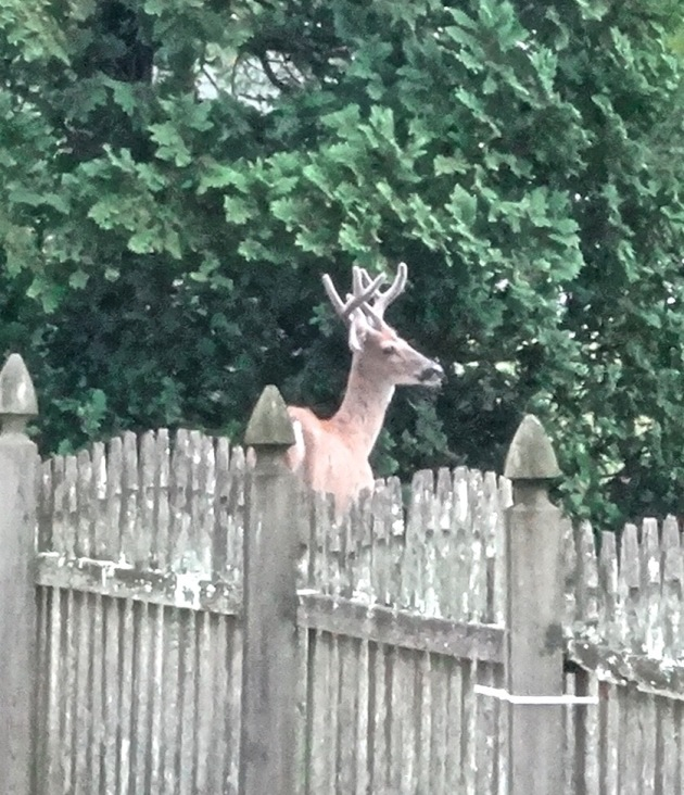 But the grass is not always greener on the other side of the fence, and he found no apples there. So he planned his strategy and took off like a rocket.