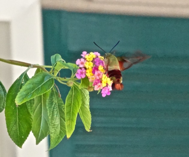 This is actually called a HUMMINGBIRD MOTH!!