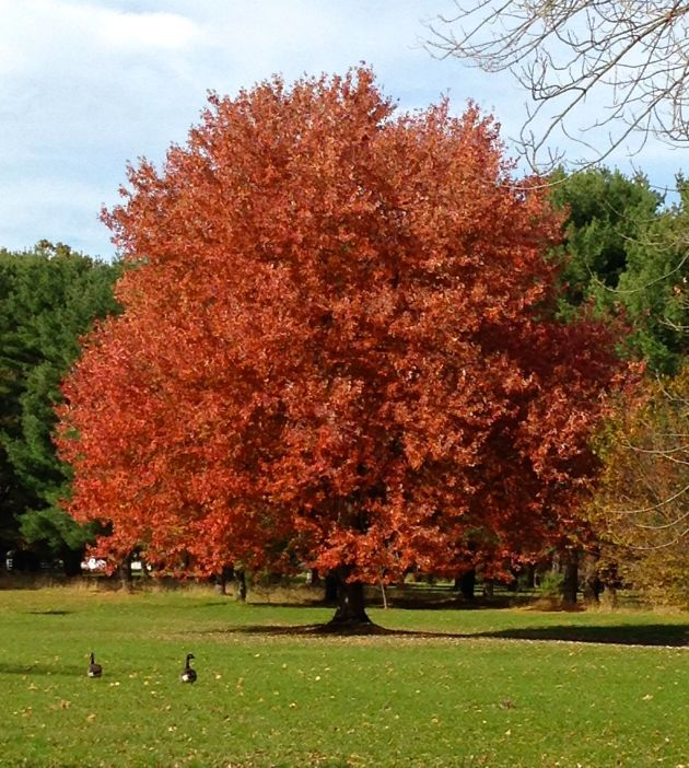 autumn tree red
