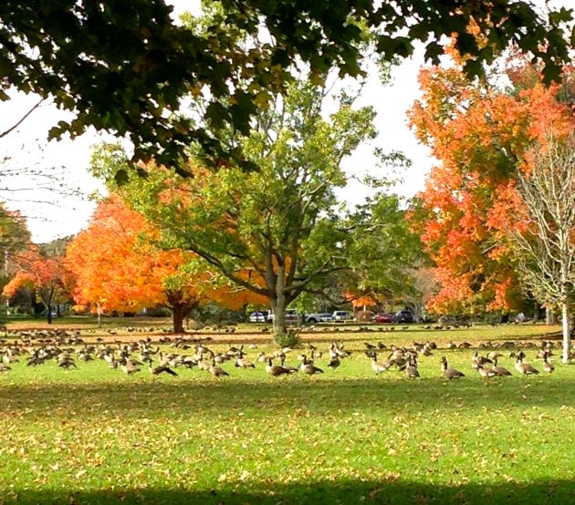 autumn trees with geese