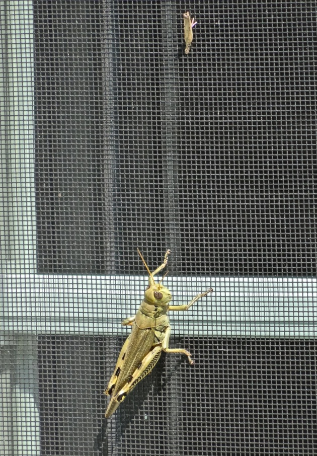 Big grasshopper vs tiny moth - they stayed like this for hours!