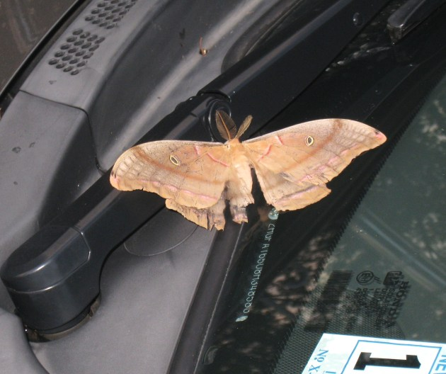 THIS ENORMOUS MOTH WAS ON MY WINDSHIELD WIPER!!!